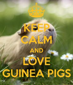 keep calm and love guinea pigs - Google Search                                                                                                                                                                                 More