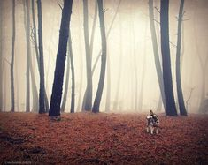 Guillermo Caballa, a talented photographer based in Vigo, Spain, loves to take beautiful photos in the forests of Galicia together with his lovely dog Malu. Most of his photos feature lonely forests wreathed in thick fog and a pensive man going for a walk, often together with the ever-loyal Malu. Their subdued but picturesque mood seems to calm and comfort the weary soul.