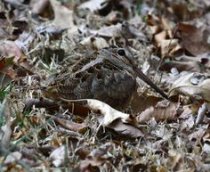 American Woodcock,can you find this bird. Great camouflage by Becky Wylie. Wildcat Glades Conservation & Audubon Center