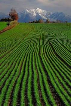 iwillvisitjapan:  Green Wheat in Hokkaido, Japan - Kent Shiraishi