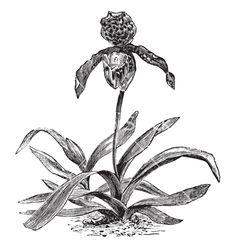 Paphiopedilum orchid vintage engraving vector