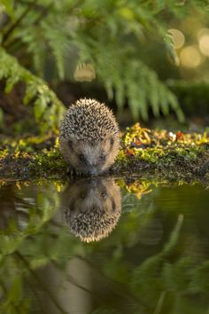 Image of a very young hedgehog made at the edge of a pond, drinking water.