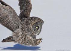 Hunting by David Hemmings; great grey owl, Canada