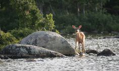 White tailed fawn in Maine