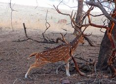 Spotty deer in India.