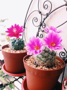 #cactus #pink #blooming