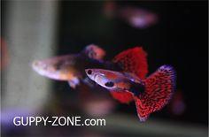 guppy zone จำหน่ายปลาหางนกยูงสายพันธุ์ต่างๆ และให้ความรู้กับผู้ที่สนใจเลี้ยงปลาหางนกยูง