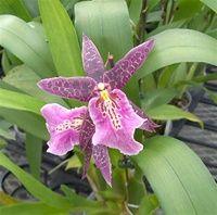 """Orchid flowers - Oncidium Miltassia Aztec """"Nalo"""""""
