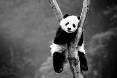 Without help, pandas will be left hanging