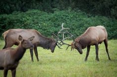 Elk in Snoqualmie Valley, WA