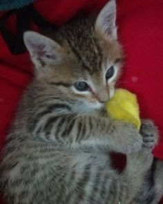 Do you know how to tell your kitten or cat loves you? See the article: http://www.examiner.com/article/holistic-purrs-10-signs-that-your-cats-and-kittens-love-you