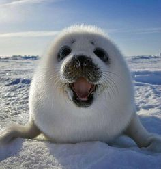 Help save the Arctic and this little buddy! www.savethearctic.org