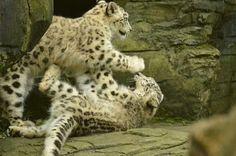 Snow Leopards. Snow Leopard Trust