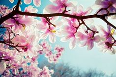 Breath taking magnolia tree, must have in the garden.