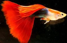 Half Black Red  A Red Guppy with the Half Black trait is considered to be a Half…