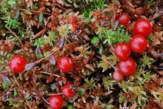 Grows on places where you should never go alone. Swamp can be dangerous. Cranberry Growing, Winter Day, Habitats, Woodland, Berries, Bloom, Gardens, Canning, Vegetables