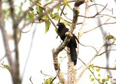 Kai Coucal, Bubut kai (Centropus spilopterus); endemic ; Cuculiformes-Cuculidae