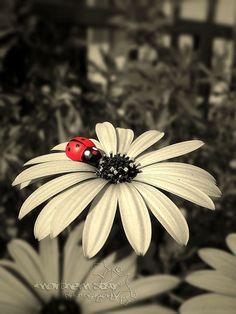 ladybug. | Flickr: Intercambio de fotos