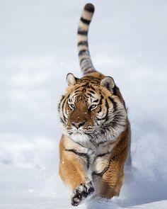 Siberian Tiger by serhat_demiroglu_photography by beautiful-wildlife Wild Photography, Wildlife Photography, Animal Photography, Animals Of The World, Animals And Pets, Cute Animals, Wild Animals, Baby Animals, Beautiful Cats