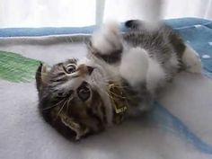 耳折れ短足マンチカンの子猫 - YouTube