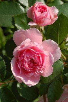 'The Fairy'   Polyantha Rose. Bentall, 1932  Flickr - © enbodenumer