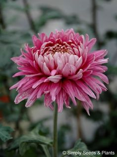 Chrysanthemum Pandion Pink: A soft lavender reflexing bloom chrysanthemum for October flowering.