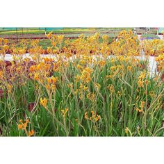 Anigozanthos flavidus Yellow to be planted in gardens beds to provide winter colour. Lisa Hall, Red Kangaroo, Big Yellow, Winter Colors, Outdoor Plants, Preston, Garden Beds, Yellow Flowers, Vineyard