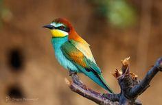 Bee-eater (Prigorie / Meropidae)