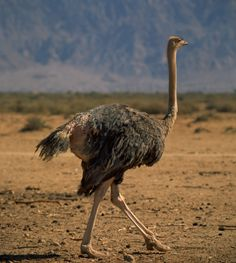 A female Ostrich can determine her own eggs amongst others in a communal nest.