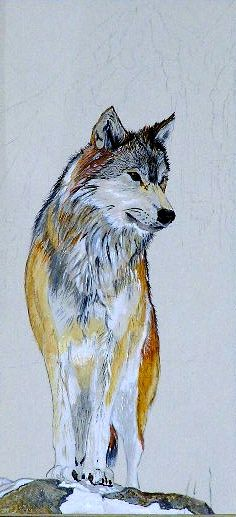 wolf watercolor on paper july 2013