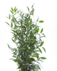 Ruscus Israeli - Greens - Types of Flowers | Flower Muse
