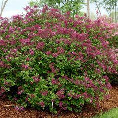 Bloomerang; Dark Purple Syringa Shrub (Lilac)