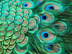 peackock feather Wallpaper