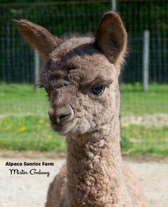 ALPACA CRIA.  Alpaca Sunrise Farm is a full-service Alpaca farm since 1998 • Alpaca sales • breeding • boarding • Alpaca raw fiber, yarn, roving sales for knitters, crocheters, weavers and fiber artists. www.AlpacaSunrise.com #alpaca #alpacas