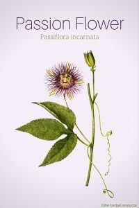 Passion Flower Health Benefits And Side Effects With Images Passion Flower Passion Flower Herb Passion Flower Tea