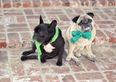 Frenchie and Pug - look at these two lovies