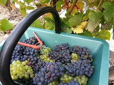 Vendanges / harvest. Chardonnay, pinot noir and pinot meunier in the same basket