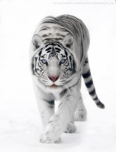 White tiger - White Snow by Anton Jaquars