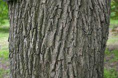 acer platanoides bark - Google Search