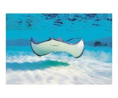 Sting rays are popular attraction in the Arnos Vale Reef, Trinidad and Tobago.