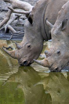White Rhino by Benjamin Tupper                   HAPPY RHINO FRIDAY!!!!