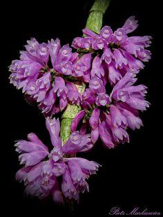 Dendrobium purpureum - Flickr - Photo Sharing!