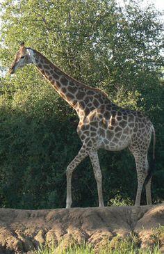 Giraffe at Mabalingwe Nature Reserve, South Africa Nature Reserve, Far Away, South Africa, Giraffe, Places, Animals, Beautiful, Giraffes, Animales