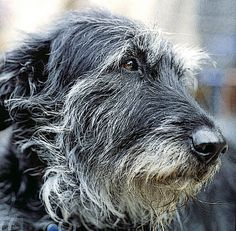 Irish wolfhound...