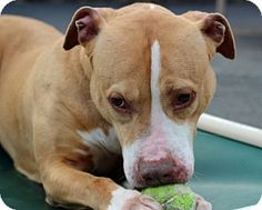 Port Washington, NY - Pit Bull Terrier Mix. Meet Penny, a dog for adoption. http://www.adoptapet.com/pet/8614210-port-washington-new-york-pit-bull-terrier-mix