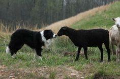 Hubert Bailey's Herding Training Clinics, Dawsonville, GA