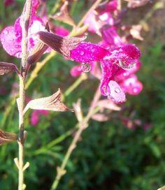 Chiapas Sage with Raindrop