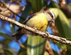 Foto cambacica (Coereba flaveola) por Gabriel Surek | Wiki Aves - A Enciclopédia das Aves do Brasil