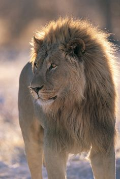 View top-quality stock photos of Male Lion. Find premium, high-resolution stock photography at Getty Images. Big Cats, Cool Cats, Beautiful Creatures, Animals Beautiful, Tiger Species, Animals And Pets, Cute Animals, Lion Photography, Gato Grande