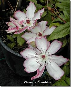 """Clematis - climber, shade root, prune down 6-12"""" early April"""